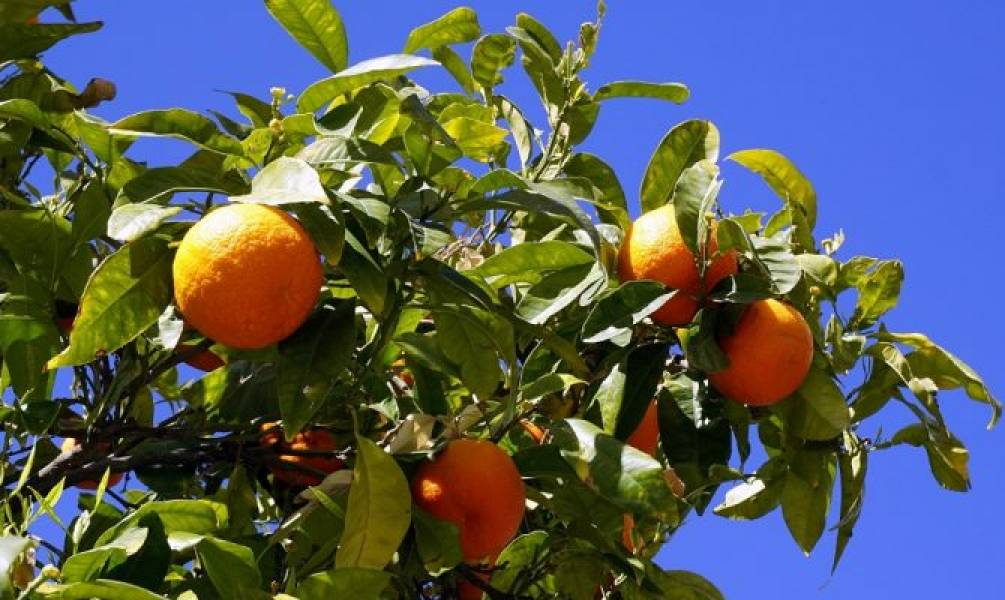 Top 15 Varieties of Citrus Fruits Available in India